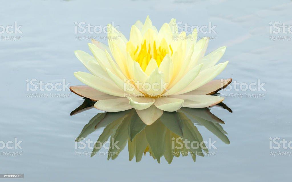 Flor de Lótus de flor de lótus e plantas  foto royalty-free