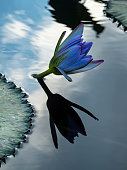 Water lilies and lilypads floating in a pond.