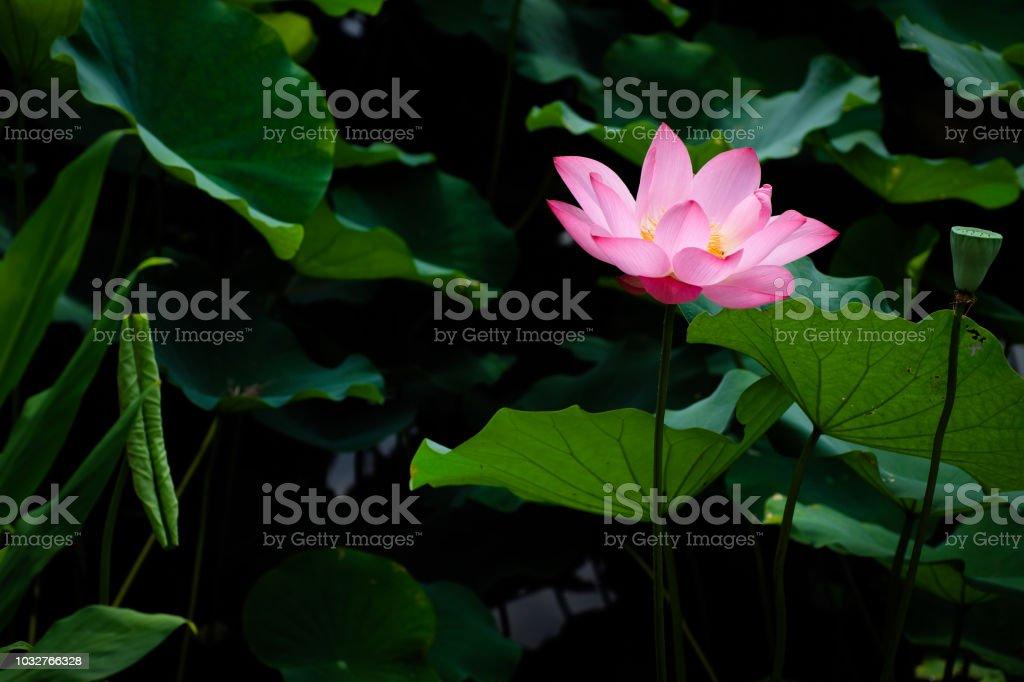 Lotus Flower at Taipei Botanical Garden in Taipei, Taiwan. stock photo