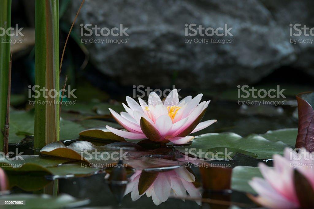 Fundo de flor de lótus foto royalty-free