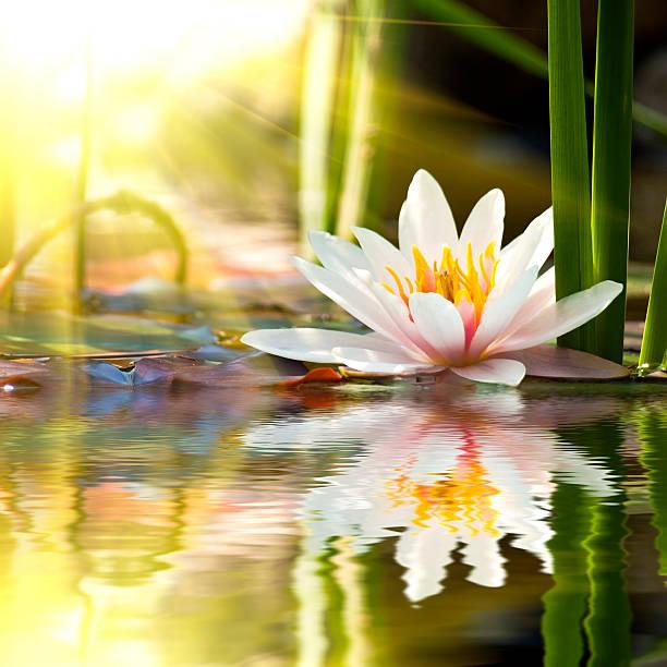 lotus blume hintergrund - wasserlilien stock-fotos und bilder
