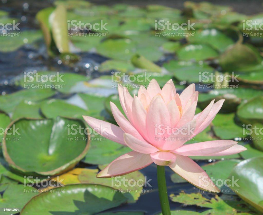 Lotus flower beautiful lotus in the pond royalty-free stock photo