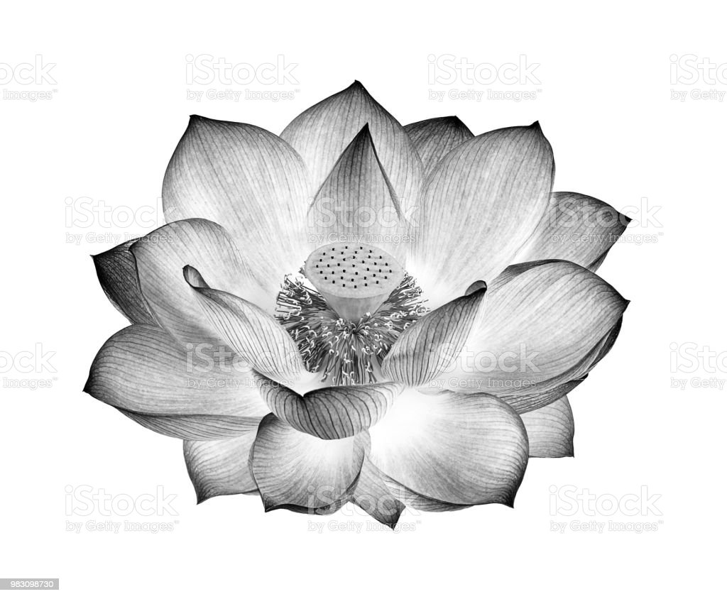 Lotus Flower Black And White Isolated On White Background Stock