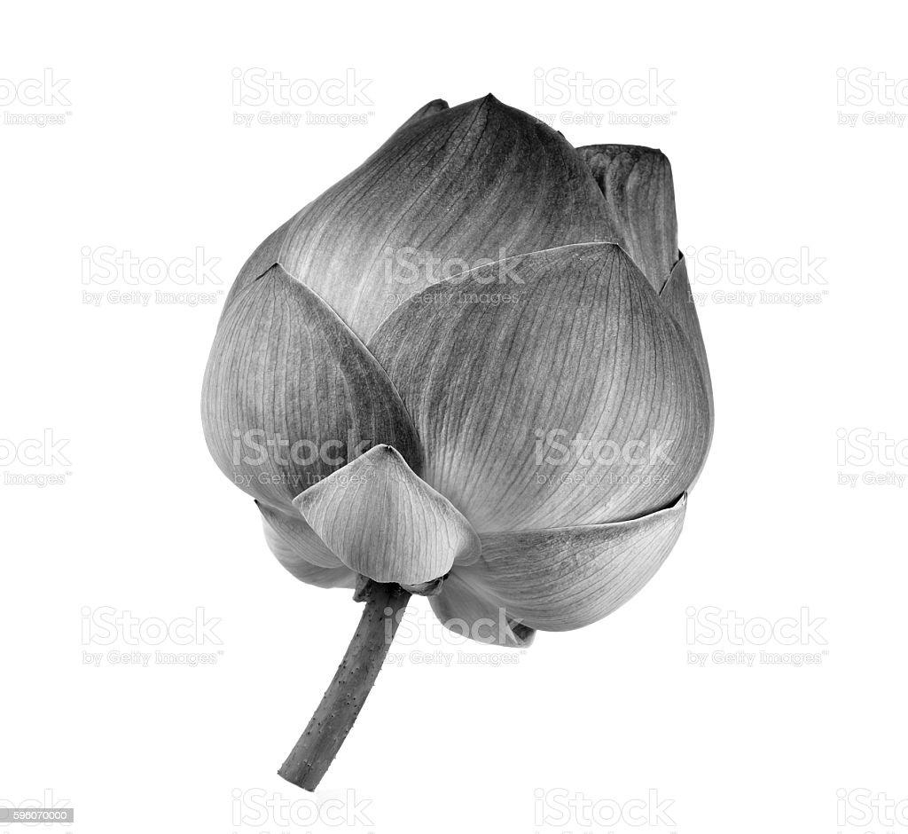 lotus flower black and white royalty-free stock photo