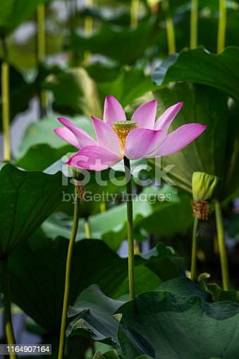 Lotus flower blooming in lotus pond