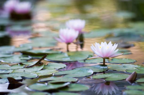 Lotus flower blooming in pond stock photo