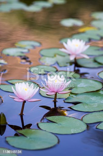 Lotus, Water Lily, Water, Water, nature
