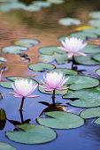 Lotus, Water Lily, Water, Water, nature