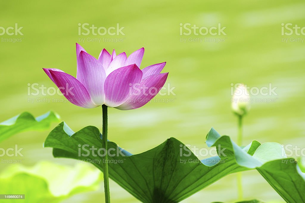 Lotus flower blooming in pond stock photo