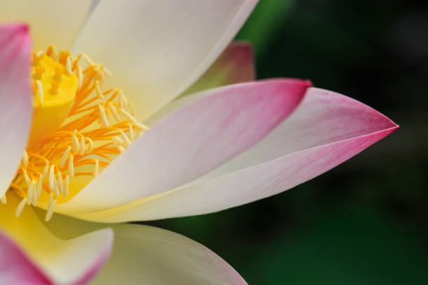 lotusblume blüht im sommerteich mit grünen blättern als hintergrund - wasserlilien stock-fotos und bilder