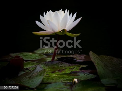 istock lotus flower blooming in summer pond with green leaves as background 1204727258