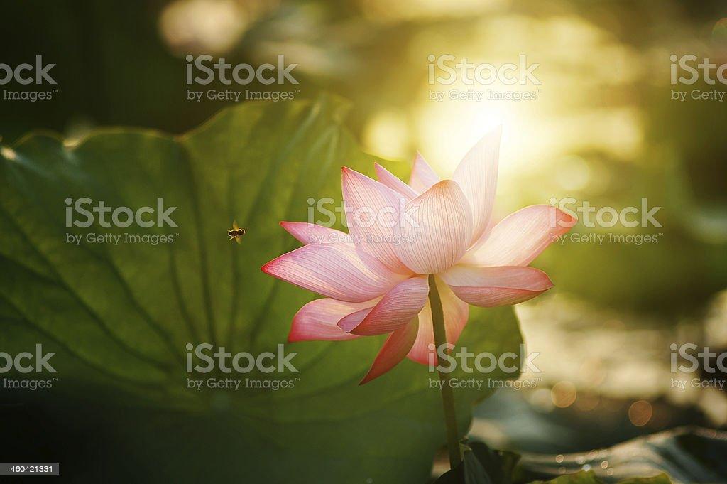 lotus flower blossom in the sunrise stock photo