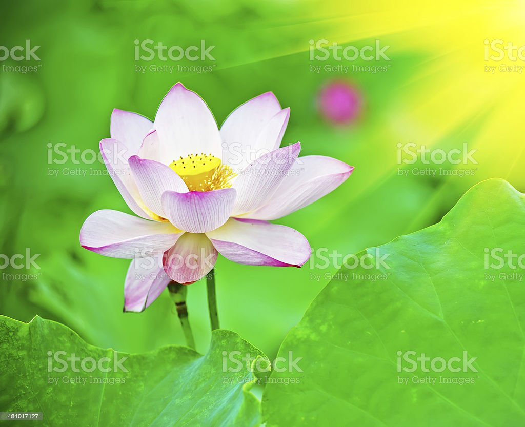 Lotus flower blossom stock photo more pictures of aquatic organism lotus flower blossom royalty free stock photo izmirmasajfo