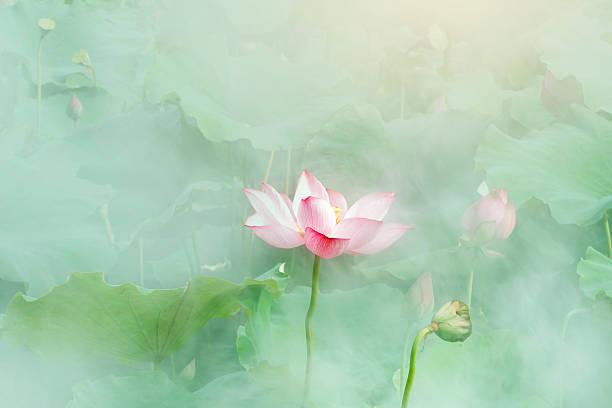 lotus blume blüte - lotus symbol stock-fotos und bilder
