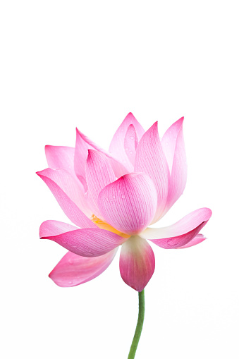 Lotus flower close-up in white background