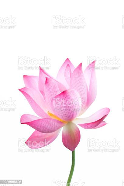 Lotus flower closeup in white background picture id1026586606?b=1&k=6&m=1026586606&s=612x612&h=yudwl4xsm3kwm73cvxzxw3dxg4xe7uyvebowa9va894=