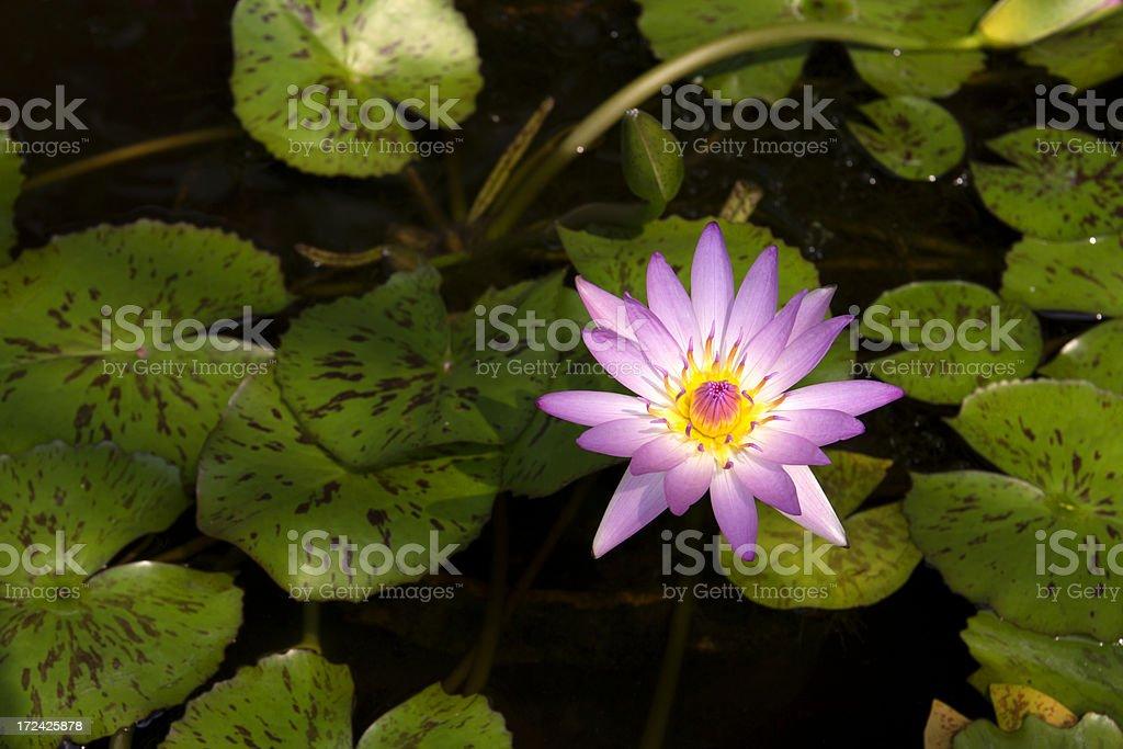 lotus flower closeup royalty-free stock photo