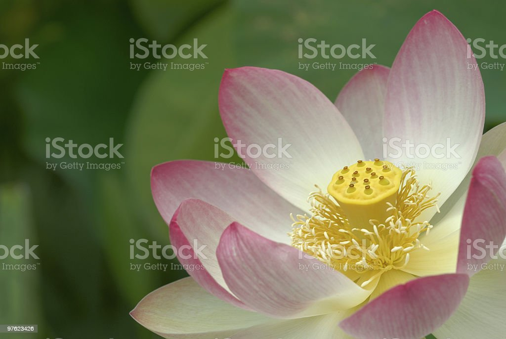Lotus flower close-up royalty-free stock photo