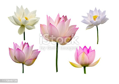 Lotus flower collections isolated on white background.