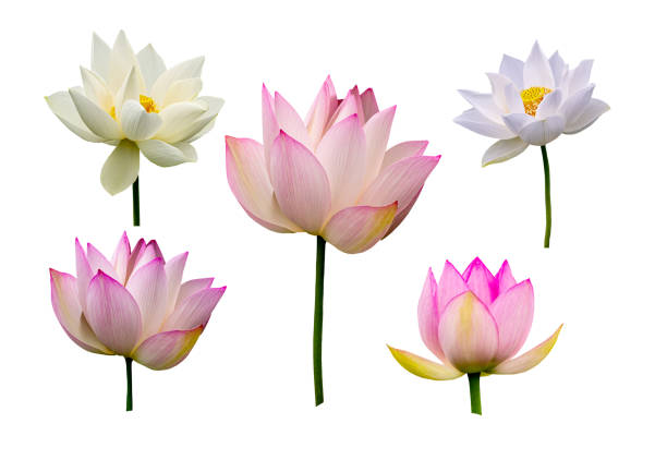 Lotus flower collections isolated on white background picture id1170648728?b=1&k=6&m=1170648728&s=612x612&w=0&h=obh01sxteiqkvgrck5lly0oinfec9ur9kd y7hwlkrg=