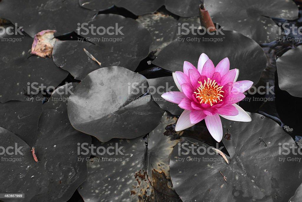 Lotus Flower Fiji stock photo