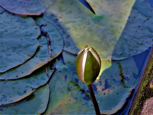 lotusblüte glüht im sonnenlicht - monet bilder stock-fotos und bilder