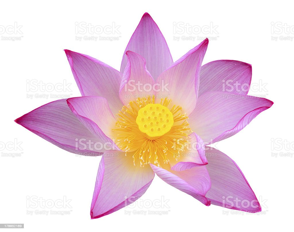 Lotus Flower Head royalty-free stock photo