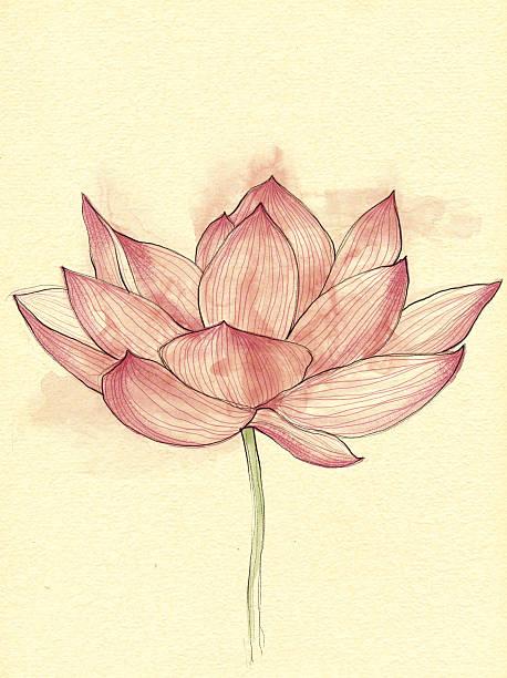 lotus blume-illustration. - lotus zeichnung stock-fotos und bilder