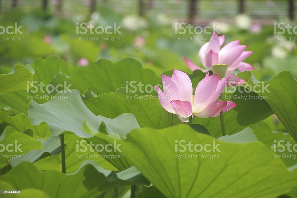 Lotus Flower In An Asian Garden Stock Photo More Pictures Of