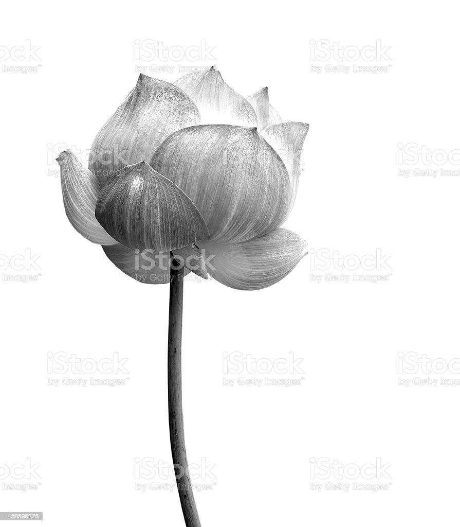 Lotus flower in black and white