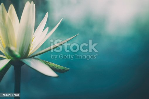 istock Lotus flower in bloom 500217760