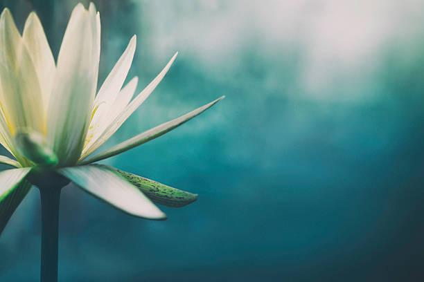 kwiat lotosu kwiat kwitnąć - staw woda stojąca zdjęcia i obrazy z banku zdjęć