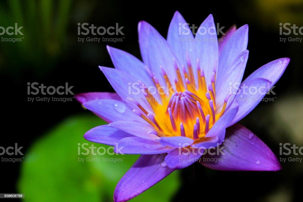 lotus flower in morning stock photo