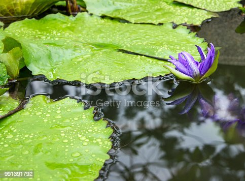 istock Lotus flower in the lake. Waterlilly blossom in the garden 991391792