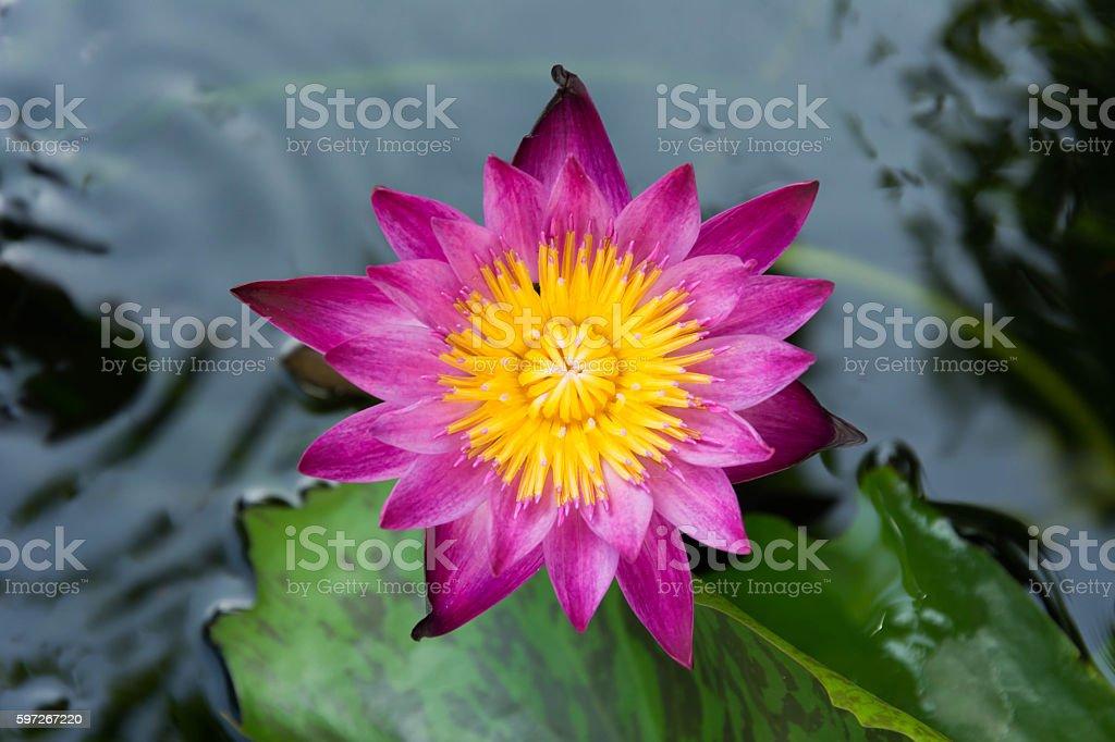 lotus flower in water tank royalty-free stock photo