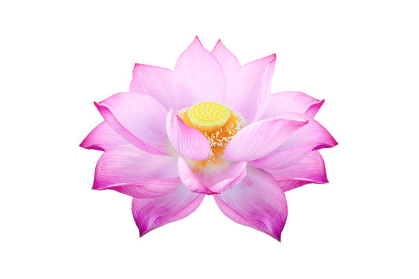 Lotus flower isolated on white background file contains with clipping picture id1281503561?b=1&k=6&m=1281503561&s=612x612&w=0&h=z7blpeqnrg9weqnhgctnv7upu pw1nmu4bpqnlii950=
