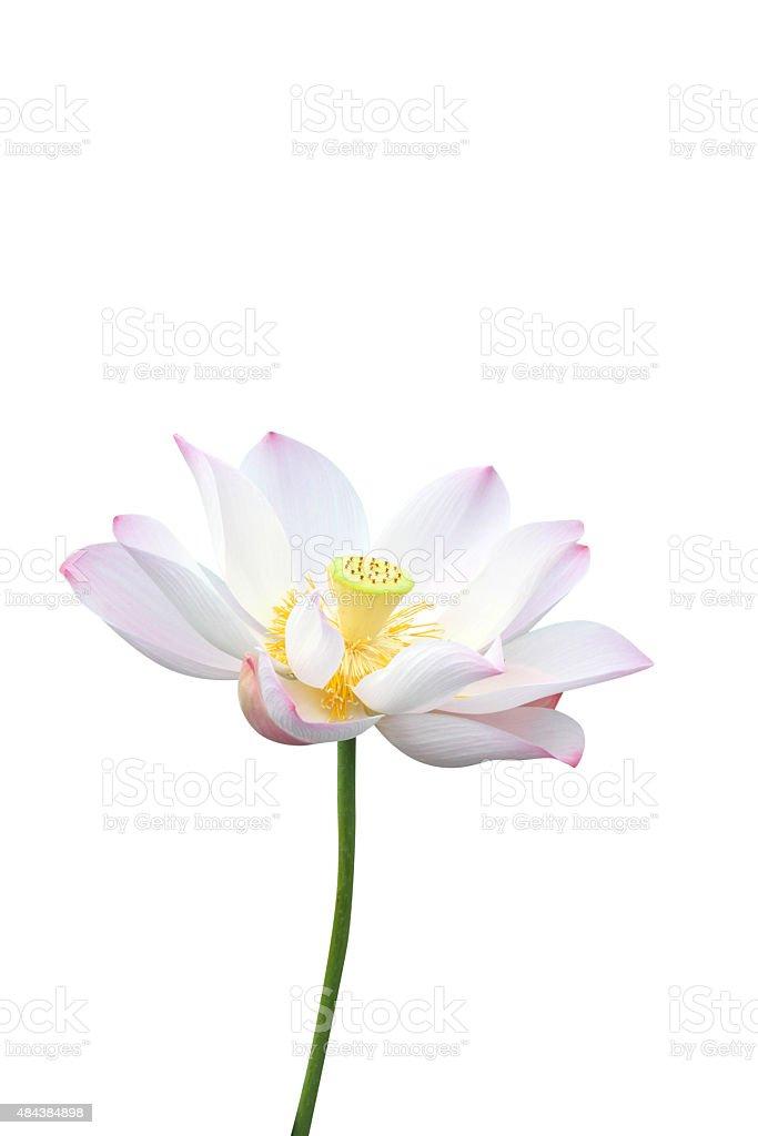 lotus flower isolated on white background stock photo