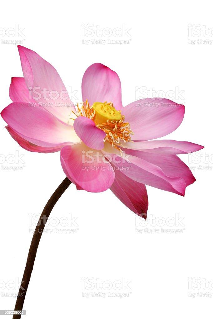 lotus flower isolated on white background. royalty-free stock photo