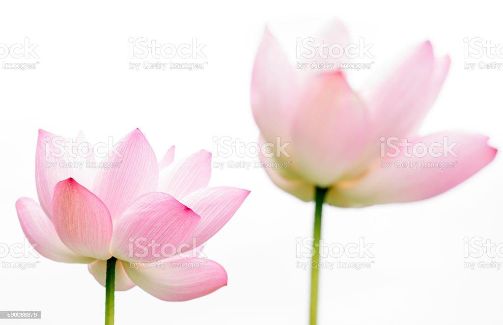 lotus flower isolated on white background royalty-free stock photo