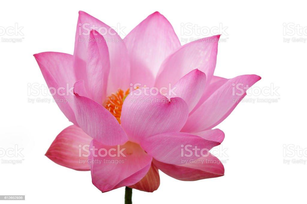 lotus flower isolated on white background. stock photo