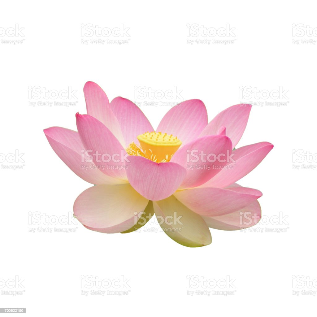 Lotus Flower Isolated On White Background Stock Photo More