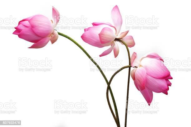 Lotus flower isolated on white background picture id837933476?b=1&k=6&m=837933476&s=612x612&h=0t7vniiwtuwyfqjwe8xfejsgtx8rvvbjlkv89pmdx5q=