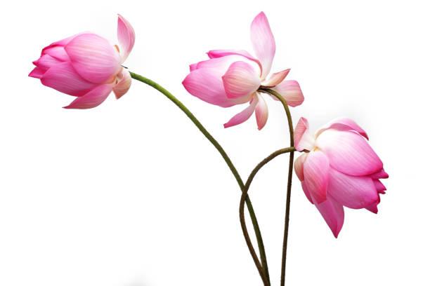 flor de lótus isolado no fundo branco. - lotus - fotografias e filmes do acervo