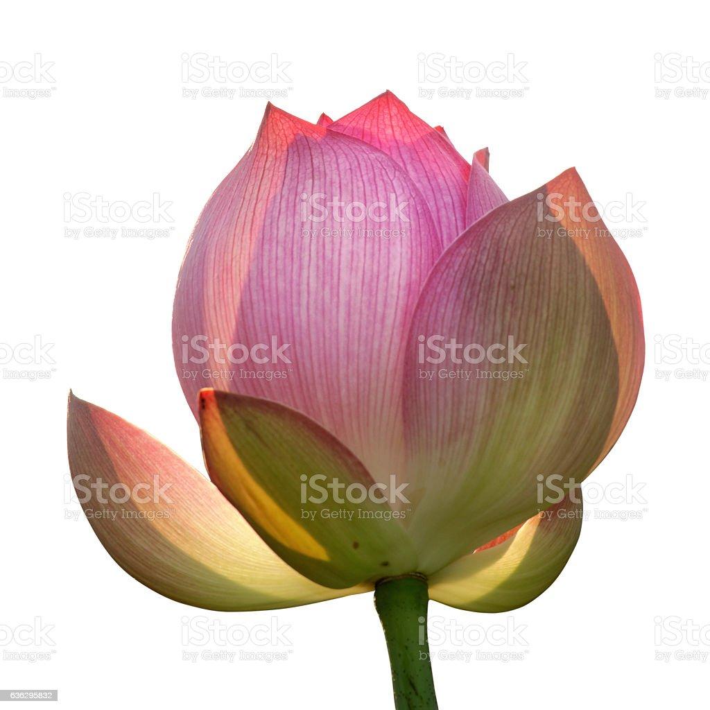 Lotus flower isolated white stock photo