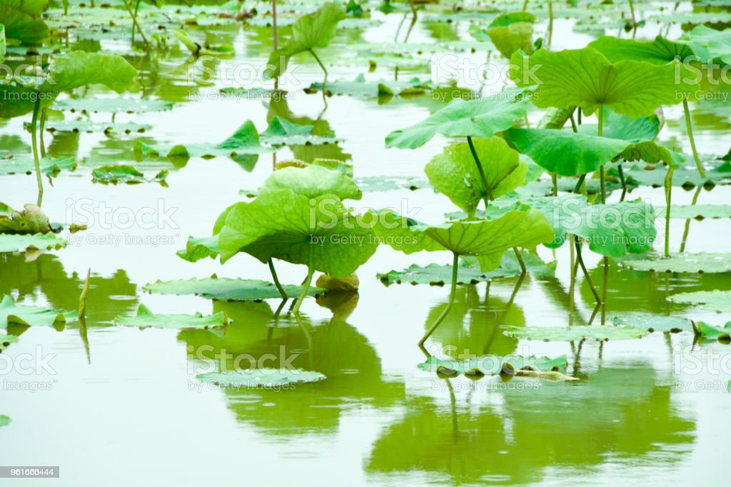 Lotus Flower Leaves In A Pond Stock Photo More Pictures Of Aquatic