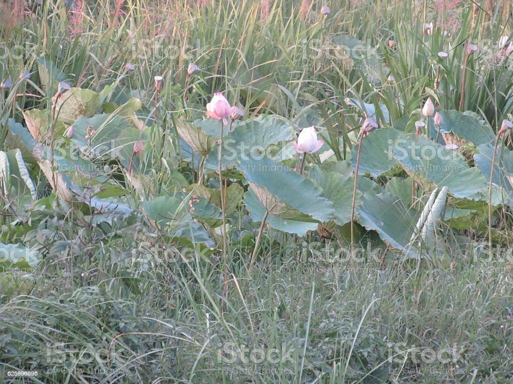 Lotus Flower of Inle Lake, Myanmar stock photo