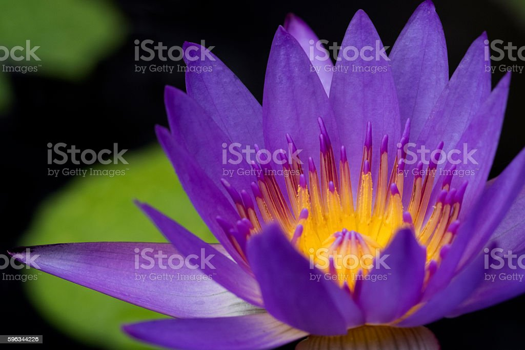 Lotus flower on black background. Lizenzfreies stock-foto