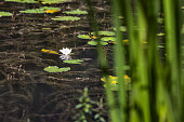 Lotus flower on the water next to a lily pad framed by reeds on a mountain lake