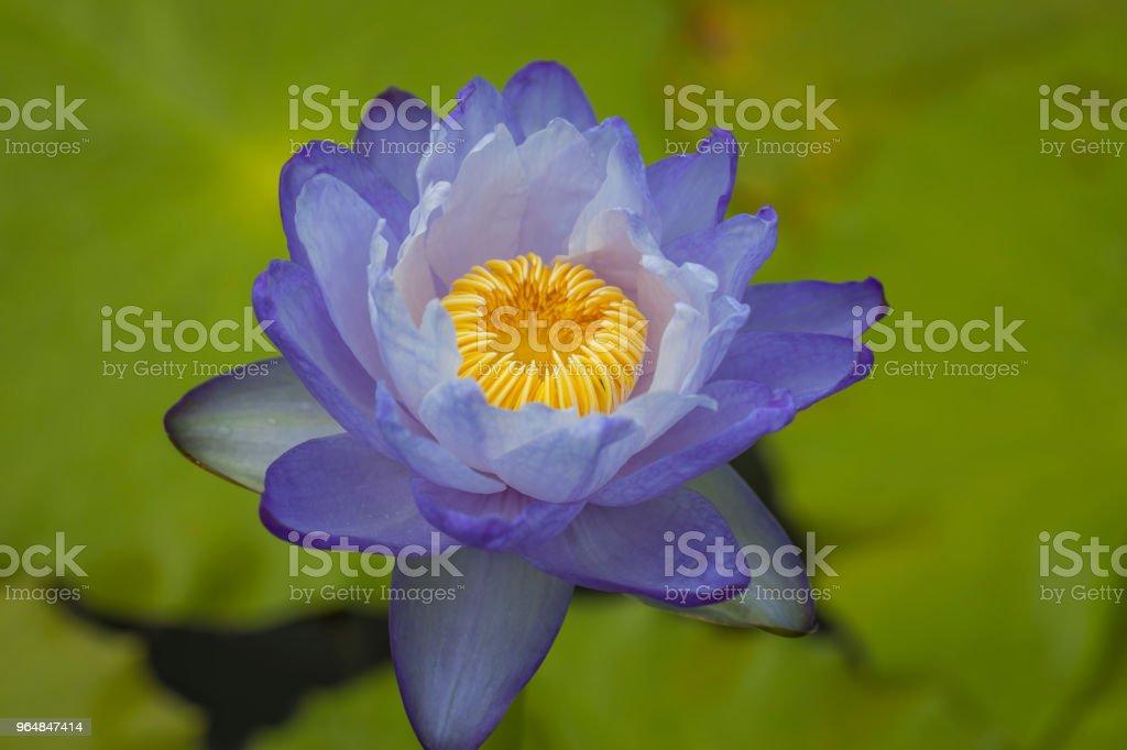 Flor de Lótus na água - Foto de stock de Azul royalty-free