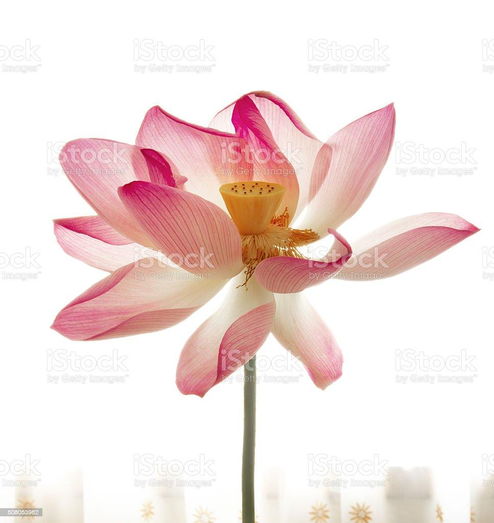 Lotus flower on the windowsill stock photo